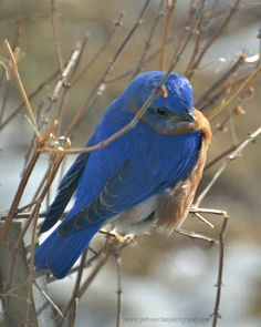 Beautiful Eastern Bluebird