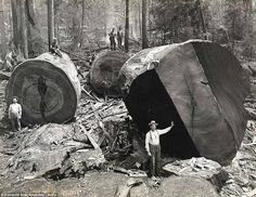 Old growth trees with lumberjacks