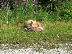 Prince, Fox, Animals, Animales, Animaux, Foxes, Animal, Red Fox, Animais
