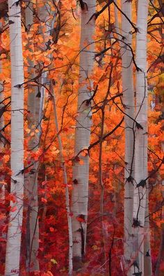 birches in the Fall