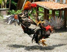 5 Kelebihan Ayam Laga Vietnam Yang Sangat Menakjubkan
