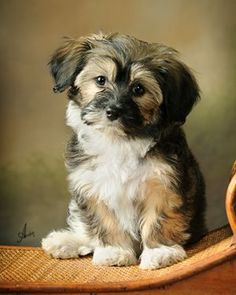 Havanese. maybe I want one of them too...