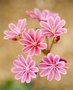 Botanical Name: Lewisia; Common Name: Bitter Root. Photo by Brian Haslam.