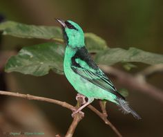 birdblog:    Turquoise Honeycreeper