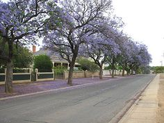 Jacaranda Trees in Gawler, South Australia