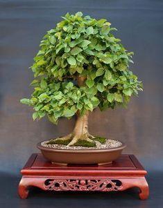 e037_carpinus_betulus.jpg 2,398×3,074 pixels #bonsaitrees