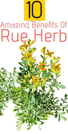 10 Amazing Benefits Of Rue Herb For Skin, Hair And Health