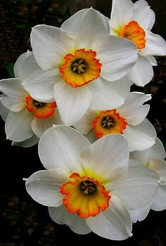 Wonderful Free of Charge Narcissus tazetta Style Long-lived daffodils are probably the best growing in addition to hottest planting season blooming b Exotic Flowers, Amazing Flowers, My Flower, White Flowers, Flower Power, Beautiful Flowers, Orange Flowers, Flower Beds, Imagen Natural