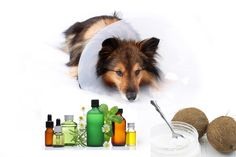 Essential Oils and Coconut Oil Effective For Skin Disorders on Dogs. Itchy skin on dogs Coconut Oil Dogs Skin, Coconut Oil For Fleas, Coconut Oil For Teeth, Coconut Oil Uses, Benefits Of Coconut Oil, Are Essential Oils Safe, Young Living Essential Oils, Essential Oil Blends, Oregano Oil Benefits