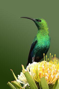 Malachite Sunbird (Nectarinia famosa)