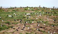 The Elliston Puffin Site - All You Need to Know BEFORE You Go - Updated 2020 (Newfoundland and Labrador) - Tripadvisor Saskatchewan Canada, Newfoundland And Labrador, Close Encounters, Far Away, Nice View, The Places Youll Go, Beautiful Landscapes, Need To Know, Trip Advisor