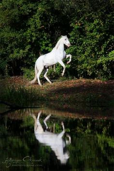 Reflections: White horse