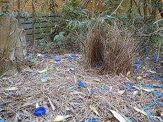 Bower Bird Nest | Flickr - Photo Sharing!