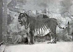 Species that have gone extinct in our lifetime CASPIAN TIGER Despite attempts to protect the species in the first half of the 20th century, they were hunted to extinction in the early 1970s in Iraq, Russia, Georgia and Kazakhstan. It may have survived until the 1990s in parts of Turkey, but was officially declared extinct in 2003.