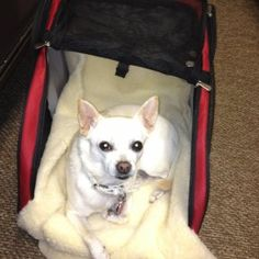 Snoozer Roll Around Pet Carriers! - Airline Approved! http://snoozerpetproducts.com/dog-beds-carriers/pet-auto-travel-c-26/pet-carriers-purses-c-26_35/