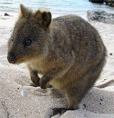 Hanging out with quokkas on Rottnest Island, Australia Happy Animals, Farm Animals, Cute Animals, Primates, Mammals, Country Critters, Big Teeth, Quokka, Australian Animals