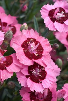 Pink and red flowers of Dianthus Evening Star Blooming Plants, Flower Garden, Pink Garden, Pretty Flowers, Flower Stock Photography, Plants, Beautiful Flowers, Fragrant Flowers, Peach Flowers