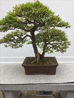 Penjing - 85 years old - pomegranate - Montreal Botanical Gardens - April 2017 Montreal Botanical Garden, Botanical Gardens, Growing Tree, Live Long, Pomegranate, Bonsai, Amazing, Plants, Granada