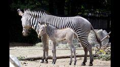 Baby zebra born on Thursday in Denver Zoo