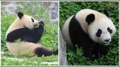 De twee reuzenpanda's zijn deze week eindelijk te bewonderen in het Ouwehands Dierenpark in Rhenen. Xing Ya en Wu Wen kwamen op 12 april onder grote belangstelling vanuit China aan in Nederland. De afgelopen periode hebben de twee dieren de tijd gekregen om te wennen in hun nieuwe omgeving.