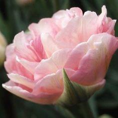 Angelique Double Late Tulip | Fresh Life Now