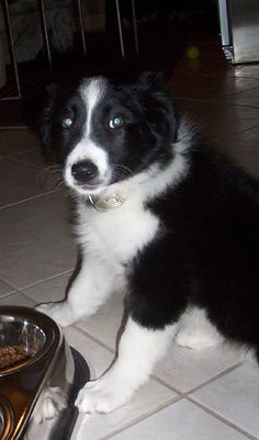border collie, murphy