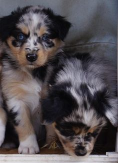 Australian Shepherd Dogs Puppy Hounds Puppies