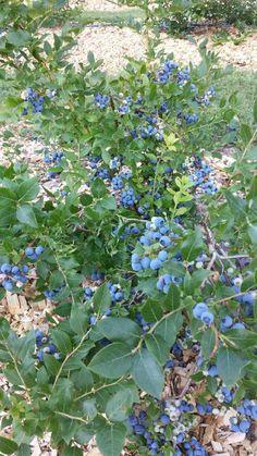 Highbush Blueberry, Plants, Plant, Planets