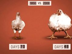 70 days v. 48 days ~ Chicken farmers today raise poultry that grows to weigh twice as much as similar birds in 1950, in less than half the time. Hormones, specifically the synthetic estrogen diethylstilbestrol (DES), administered to young poultry and other animals allow them to gain more weight in less time. #MyVeganJournal