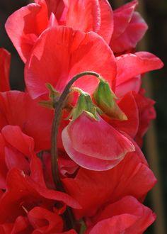 Buy spencer sweet pea Restormel Lathyrus odoratus 'Restormel'