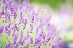 In Elizabethan times, people used lavender to make their clothes and linens smell nice.