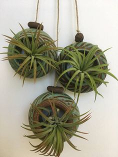 This pottery air plant holders were thrown on the wheel and then enhanced with carvings. They are finished with a green glazed with highlights of bronze and metallic black color. This very interesting glaze can only be obtain in a high fired in a gas kiln. Makes a beautiful gift. Included with your pottery piece is one air plant. These little hangers are perfect for displaying an air plant. They can be used inside as well as outside, but I suggest bring it in before the winter in cooler…