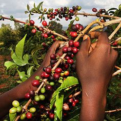 Unnützes Kaffeewissen: Erst nach vier Jahren trägt ein Kaffeebaum die ersten Kirschen. Er lebt ungefähr etwa 25 Jahre und bringt jährlich rund ein Pfund Kaffee.