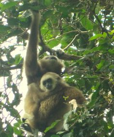 Jungle Treks & Tours from Bukit Lawang N. Sumatra - Experience Wild Jungles, Breathtaking Landscapes and Authentic Culture with TrekSumatra Gunung Leuser National Park, National Parks, Orangutan, Panda Bear, Trek, Animals, Animales, Animaux, Panda