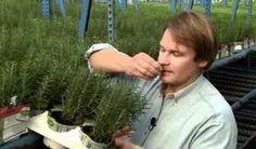 Ennek a fűszernövénynek a szagolgatása javíthatja a memóriádat! Natural Health Remedies, Jaba, Kuroko, Mens Sunglasses, Herbs, Nature, Style, Gardening, Amazon