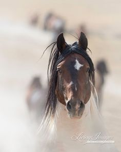 The wild stallion Warbonnet runs through the dust on the way to the waterhole in the McCullough Peaks Herd Area in Wyoming.