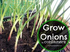 Looking for ways to maximize the growing space in your small garden? Grow onions in containers so you can use the cut and come again method. | PreparednessMama