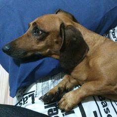 Essa carinha de quem estava sentindo tanta dor que não conseguia se mexer  . . . . . #salsicha #dog #cachorro #instadogs #cute (Estou sumida mesma super atarefada expliquei nos stories )