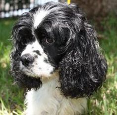 Eliza is an adoptable Cocker Spaniel Dog in Stafford, TX. Eliza is a sweet Cocker (some folks say Cocker mix) who had pups shortly after she came to us. The babies (all boys) are weaned and Eliza is r...