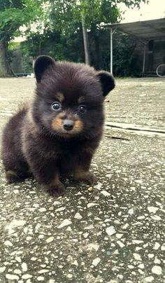 Little puppy looks just like a little bear! http://www.poochportal.com