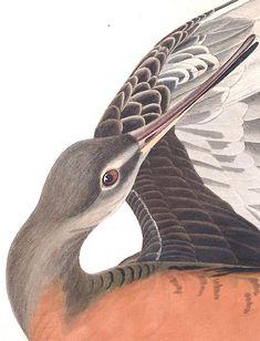 John James Audubon's Birds of America | Audubon State bird of Georgia.