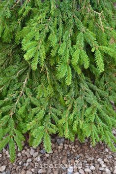 Piparkakku: Helppo havutyö Christmas Home, Xmas, Herbs, Garden, Plants, Noel, Craft, Yule, Navidad