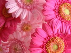 Bright pink flowers in a close-up
