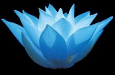 Egyptian Blue Lotus images