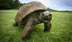 ALLPE Medio Ambiente Blog Medioambiente.org : Jonathan, una tortuga que sigue casi igual que hace más de cien años