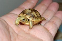 Baby Russian Tortoise!