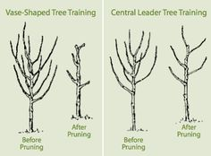Pruning tips for my peach tree!