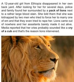 "kaminas-spirit: "" lolshtus: "" Lions Save Kidnapped Girl "" if lions are coming to rescue someone, you have to know what you're doing is wrong. you know, in that moment before you're torn in to tiny..."