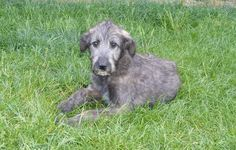 Mr Puppy give you puppy pictures with a solid minimal information to provide additional information for your reference Irish Wolfhound Puppies, Irish Wolfhounds, Irish Setter, Baby Dogs, Dogs And Puppies, Puppy Pictures, Dog Quotes, Mans Best Friend, Animals