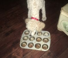 "This muffin pan seems to be an inexpensive answer to slow ""Hoover boy"" down a little! Standard Poodle puppy Tango eating his dinner."
